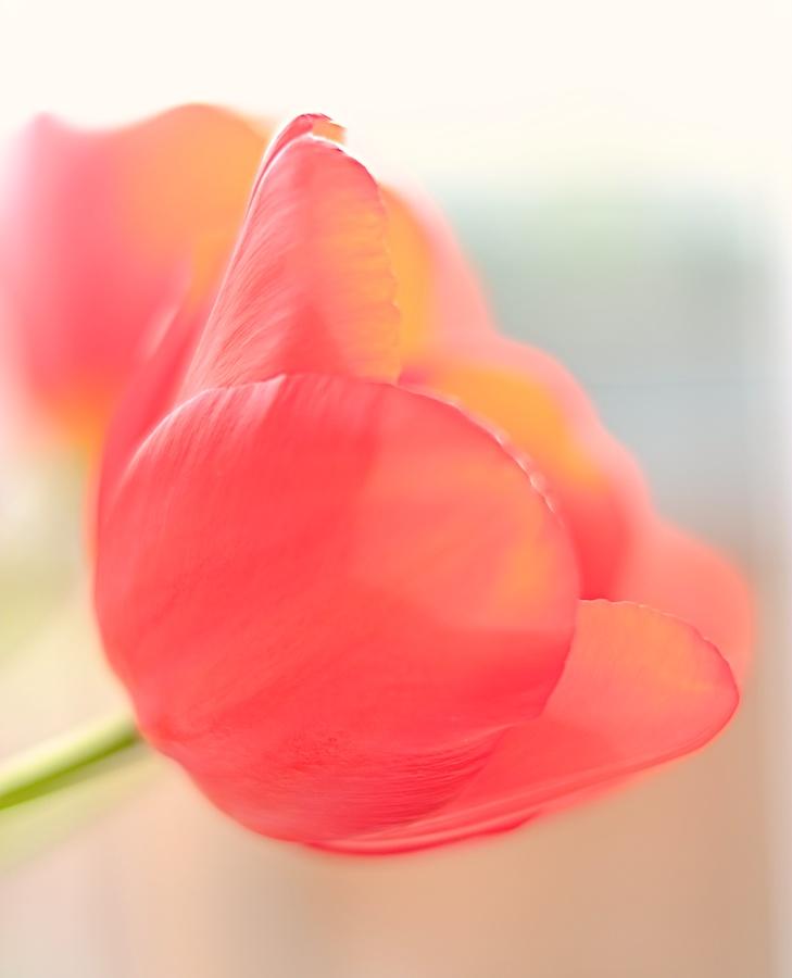 Tulip. Fujifilm X-E1, XF35mm f/1.4 @ f/1.4, 1/250, ISO 200