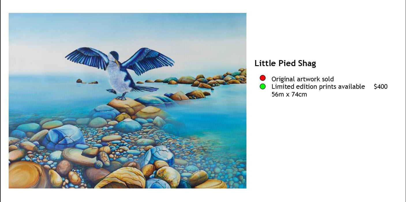 Little Pied Shag.jpg
