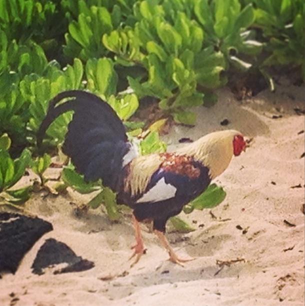wild-rooster-hawaii-oahu.jpg