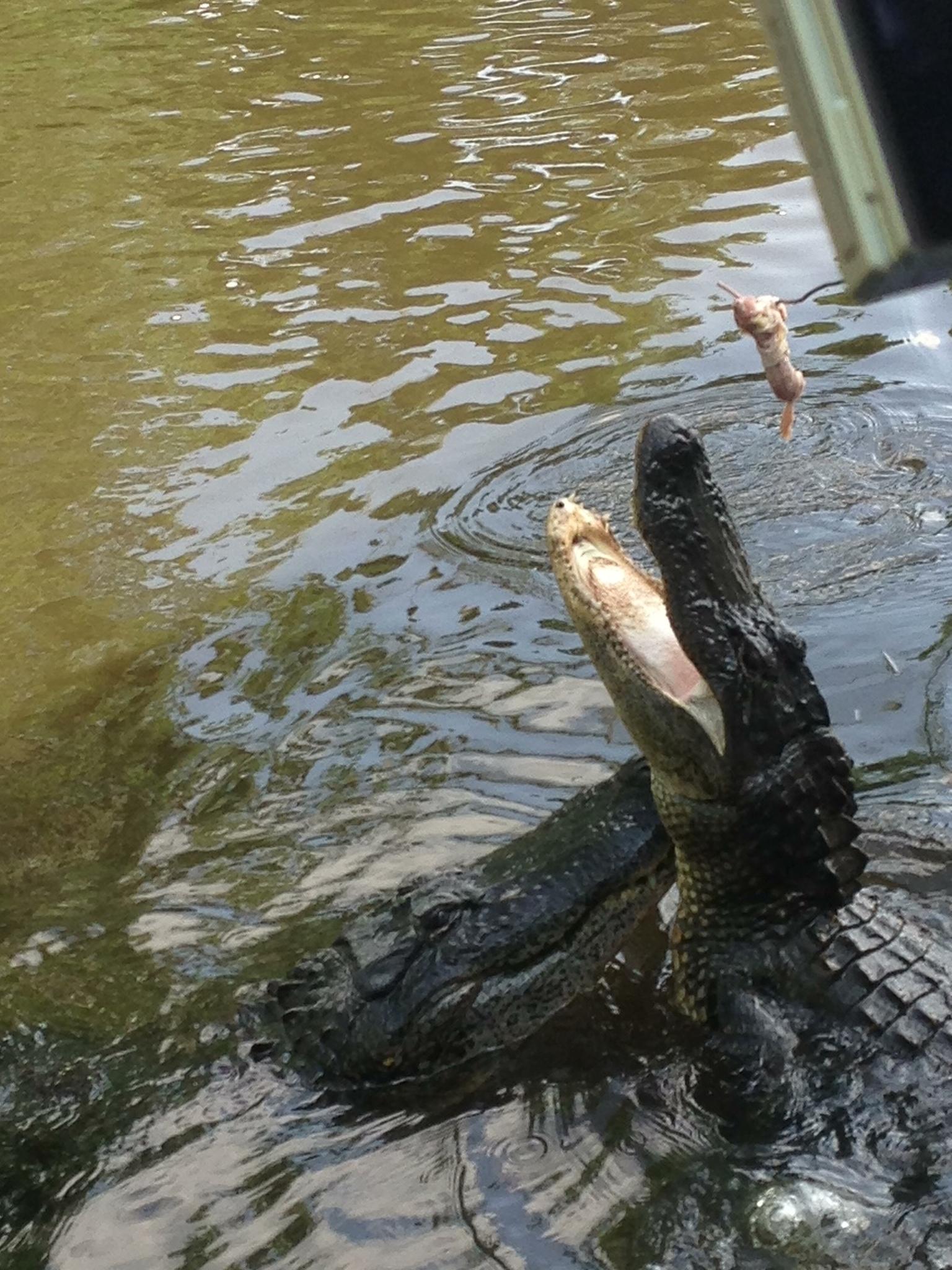 Two gators get the bait - Cajun Encounters (La Place, LA)