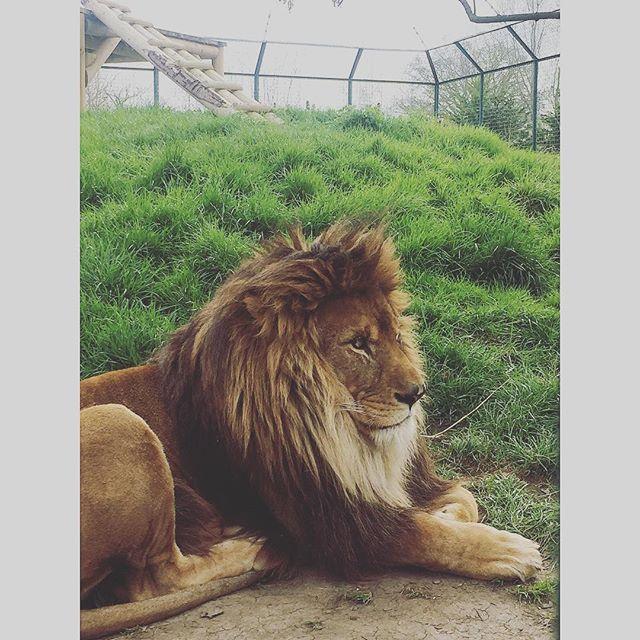 Amazing celebration day with the #Lion . . . . . #explore #vacation #tourism #tourist #instatrip #traveling #travelphotography #travelpic #travelphoto #travelblog #travelblgger #travelgram #thebigcatsanctuary #animalphotography #lionsafari #animalphoto #lionphotography #lionphotographer #safari #bigcats