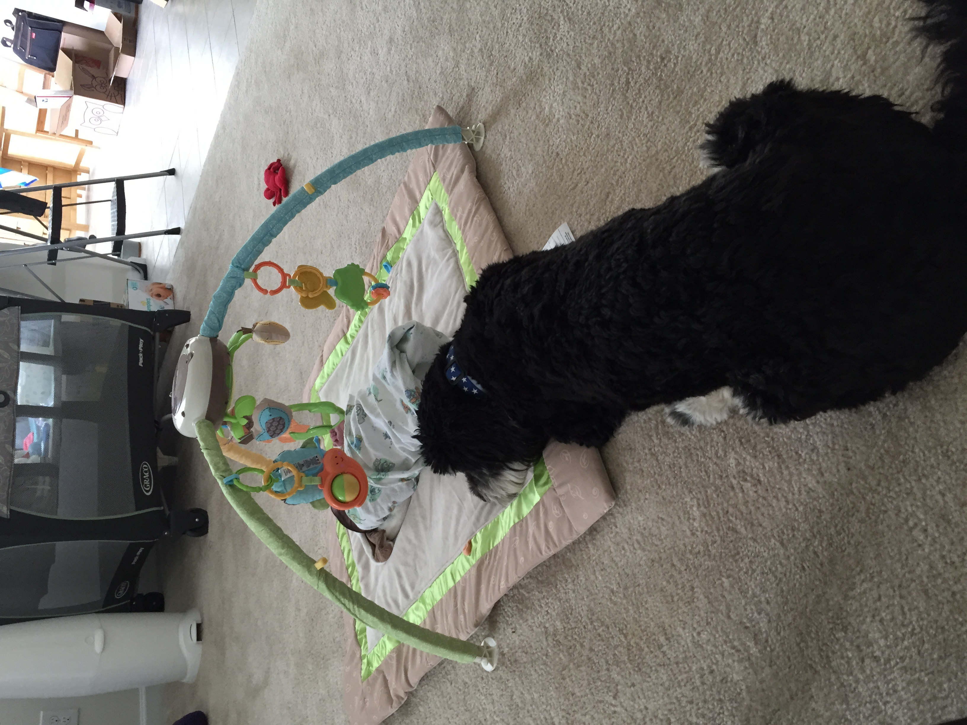 Bogart, supervising play gym time.