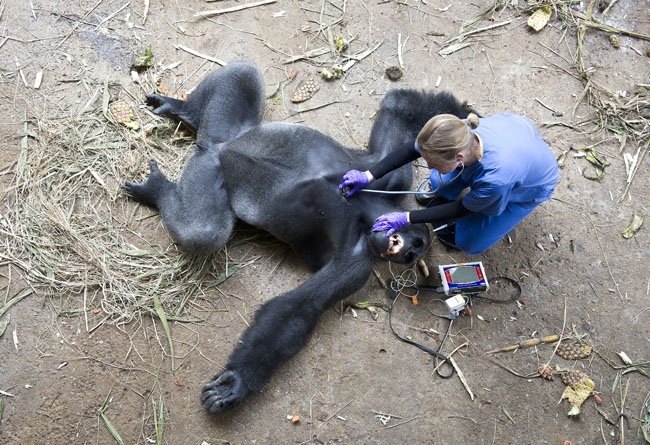 Bo Bo the Gorilla gets a health check under anaesthetic, at the Mefou Primate Park, Cameroon.