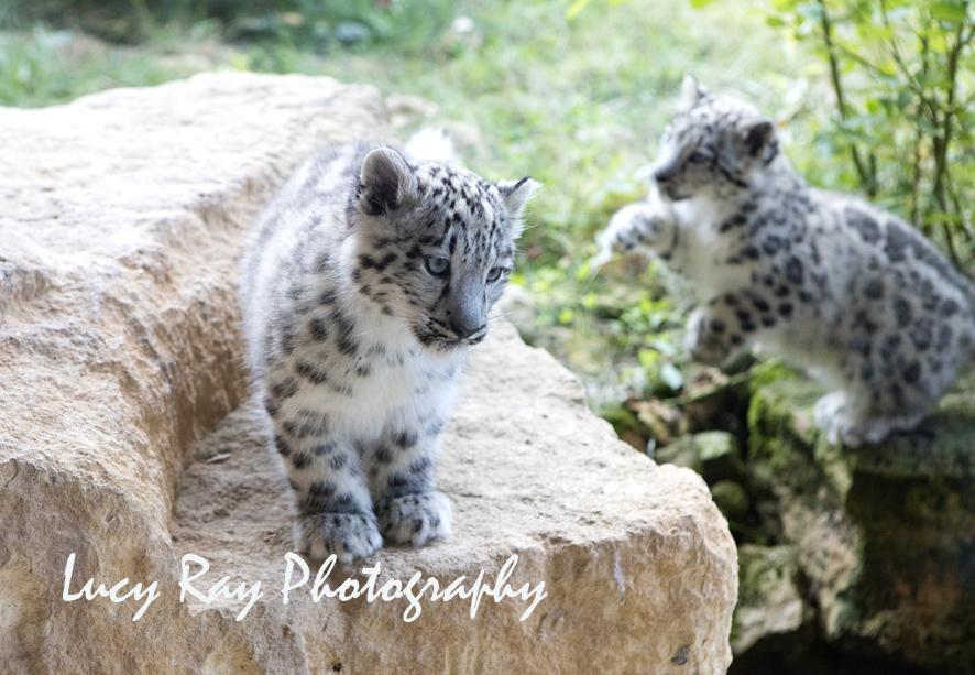 Snow Leopard Cubs1.JPG