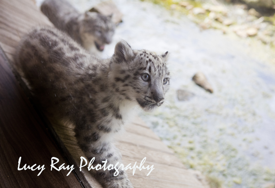 Snow Leopard Cubs11.JPG