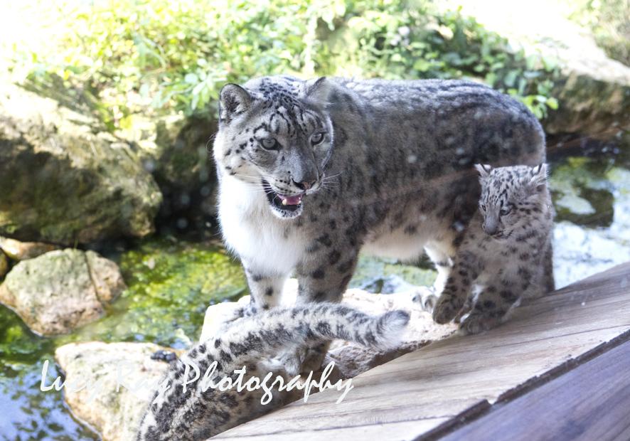 Snow Leopard Cubs15.JPG