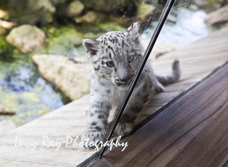 Snow Leopard Cubs16.JPG
