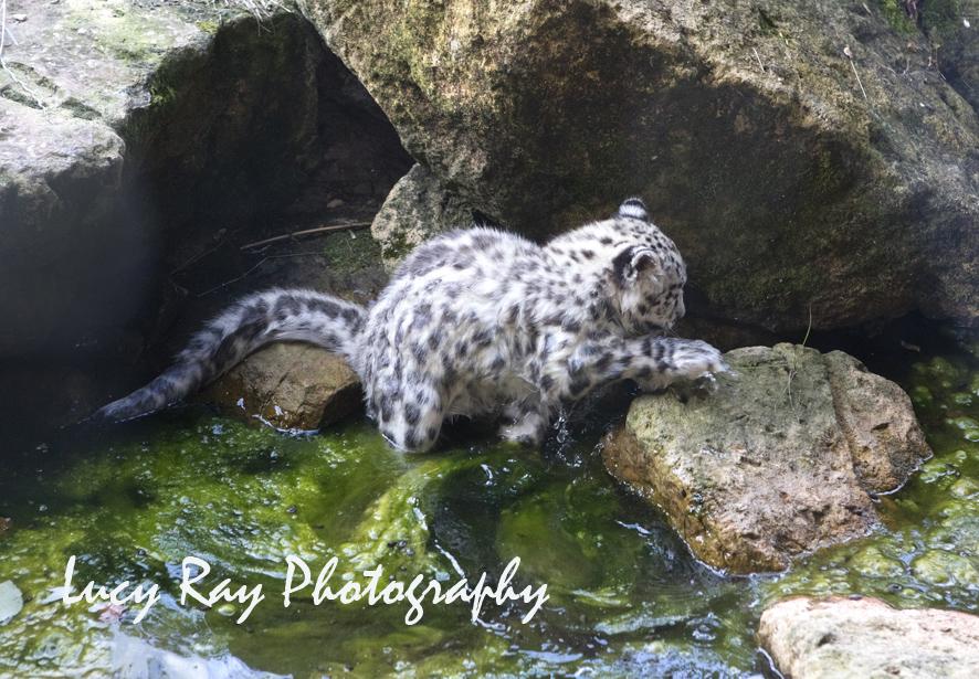 Snow Leopard Cubs17.JPG