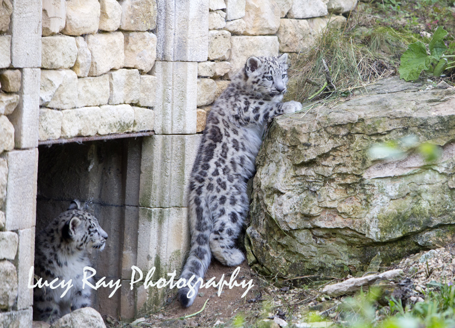 Snow Leopard Cubs28.JPG