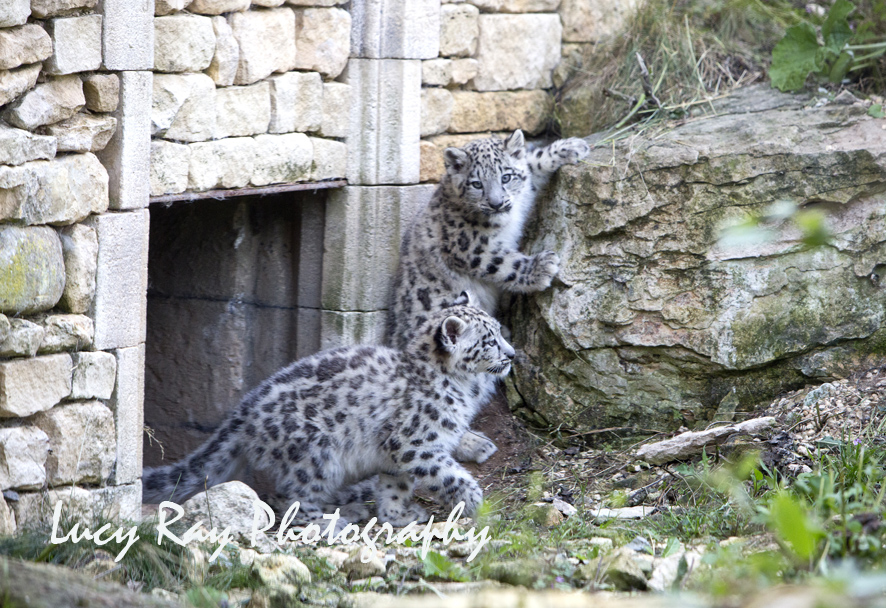 Snow Leopard Cubs32.JPG
