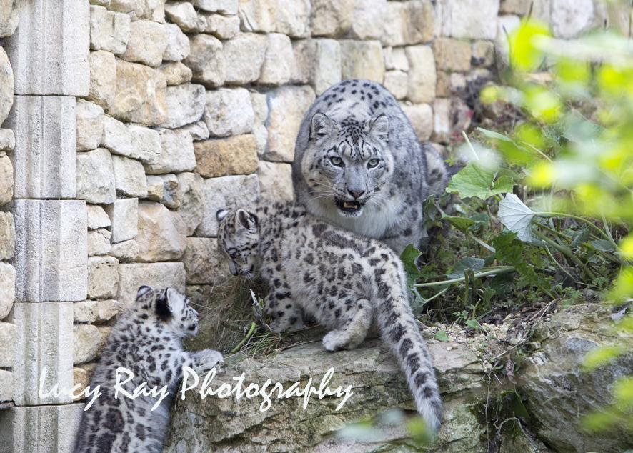 Snow Leopard Cubs34.JPG