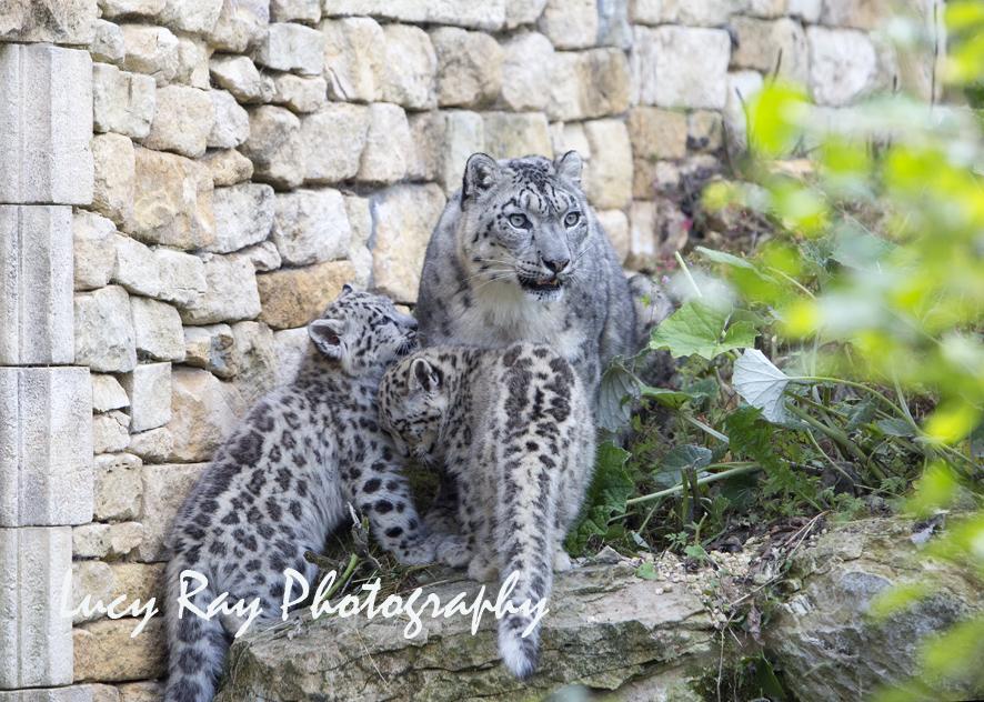 Snow Leopard Cubs38.JPG
