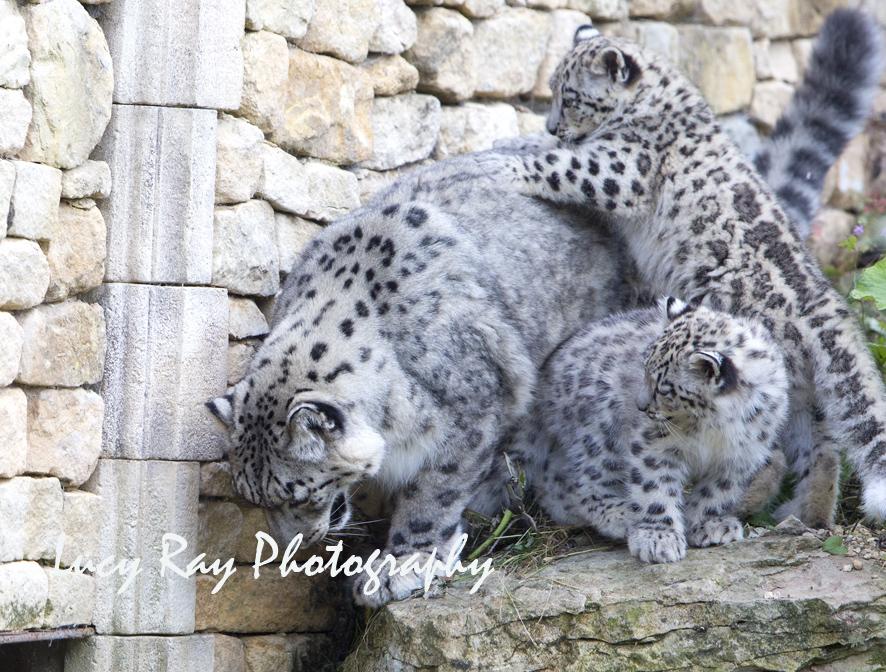 Snow Leopard Cubs40.JPG