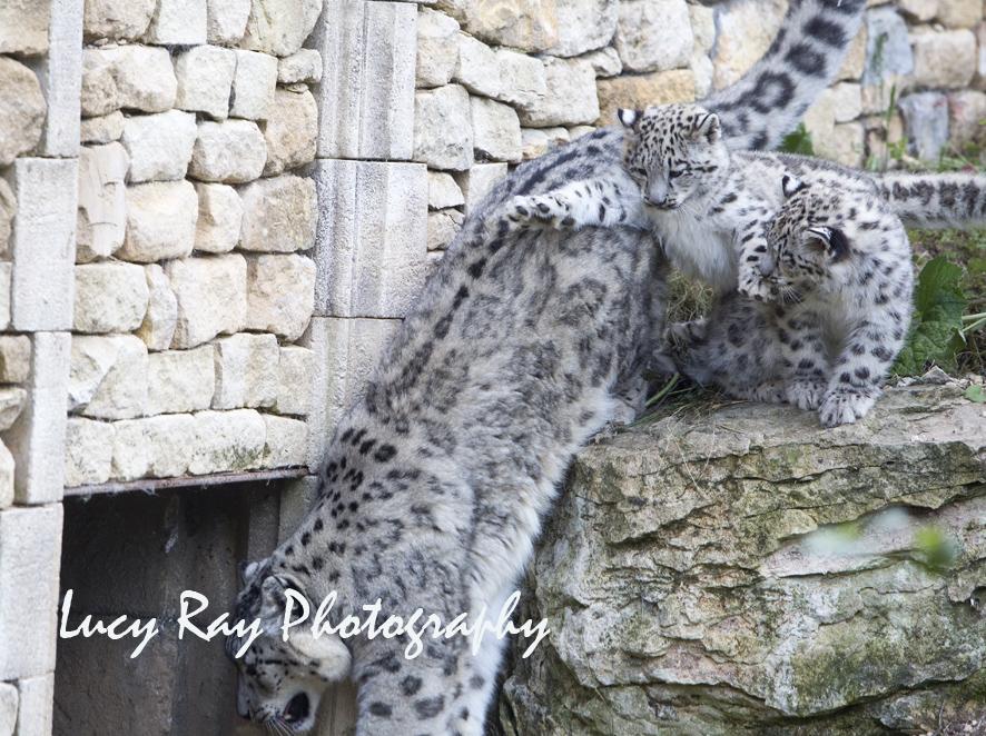 Snow Leopard Cubs41.JPG