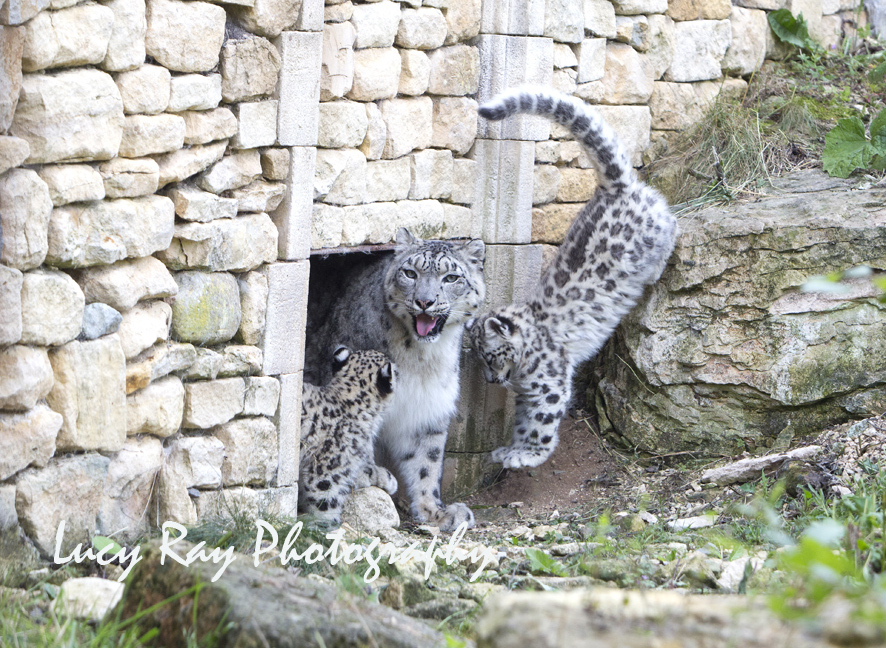 Snow Leopard Cubs47.JPG