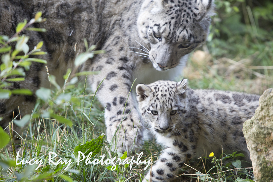 Snow Leopard Cubs50.JPG