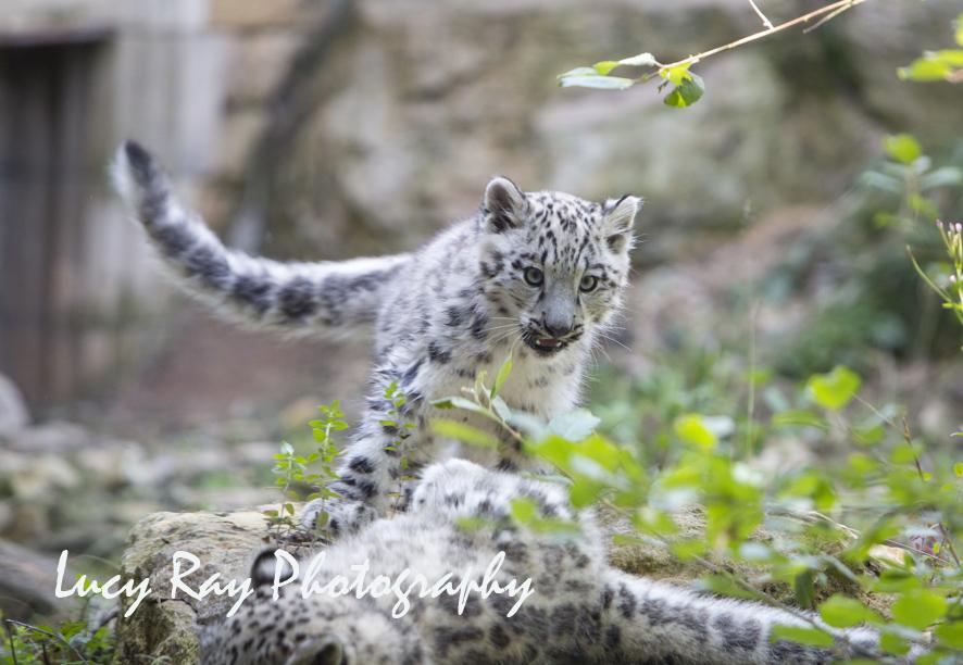Snow Leopard Cubs55.JPG