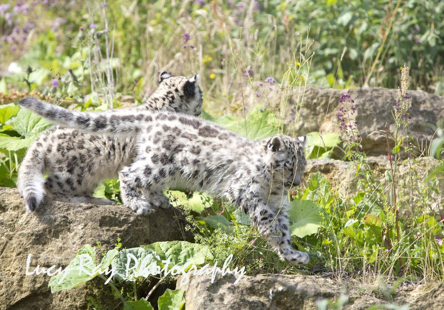 Snow Leopard Cubs56.JPG
