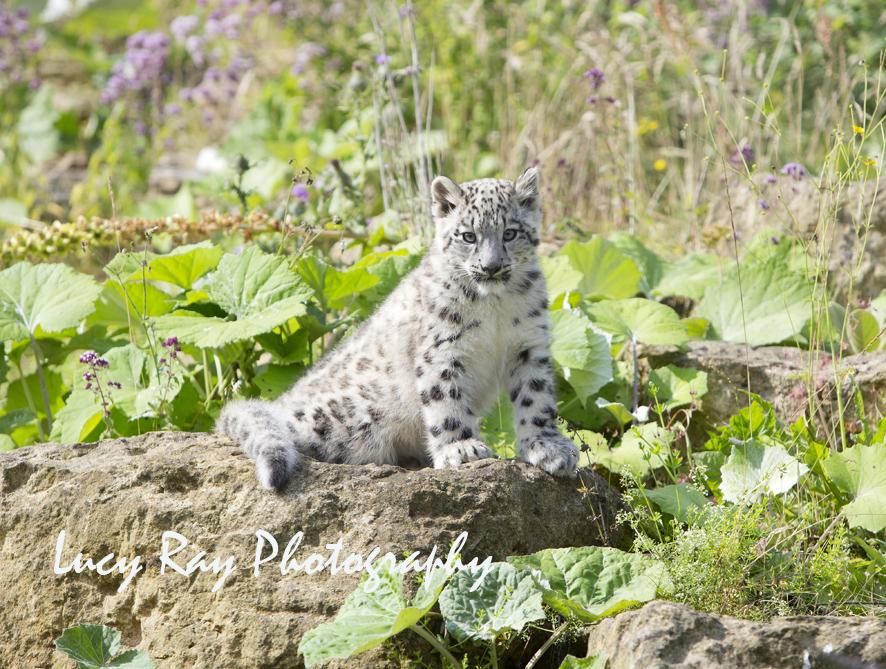 Snow Leopard Cubs57.JPG