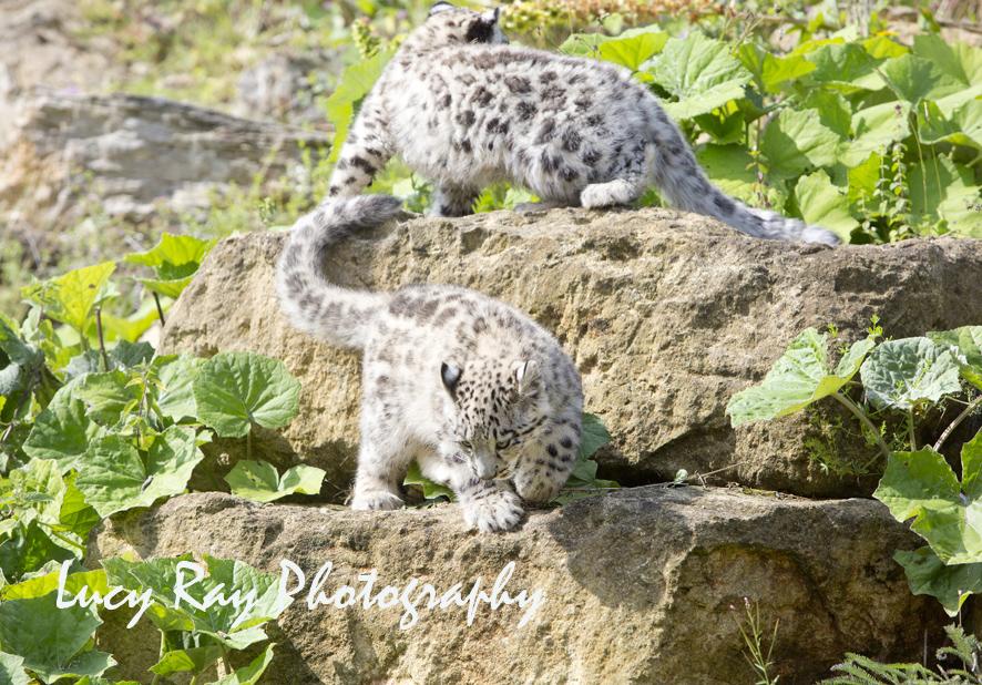 Snow Leopard Cubs59.JPG