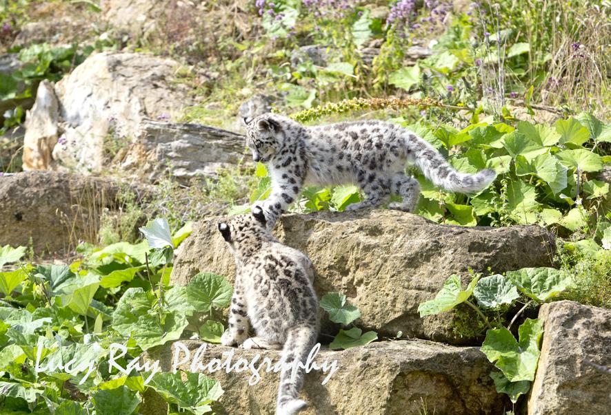 Snow Leopard Cubs61.JPG
