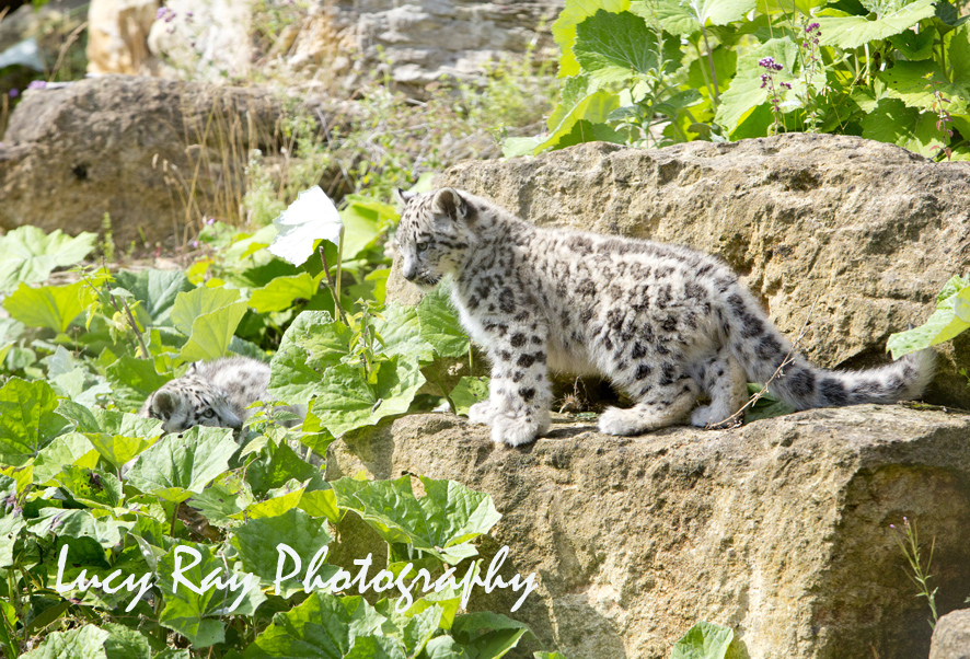 Snow Leopard Cubs60.JPG