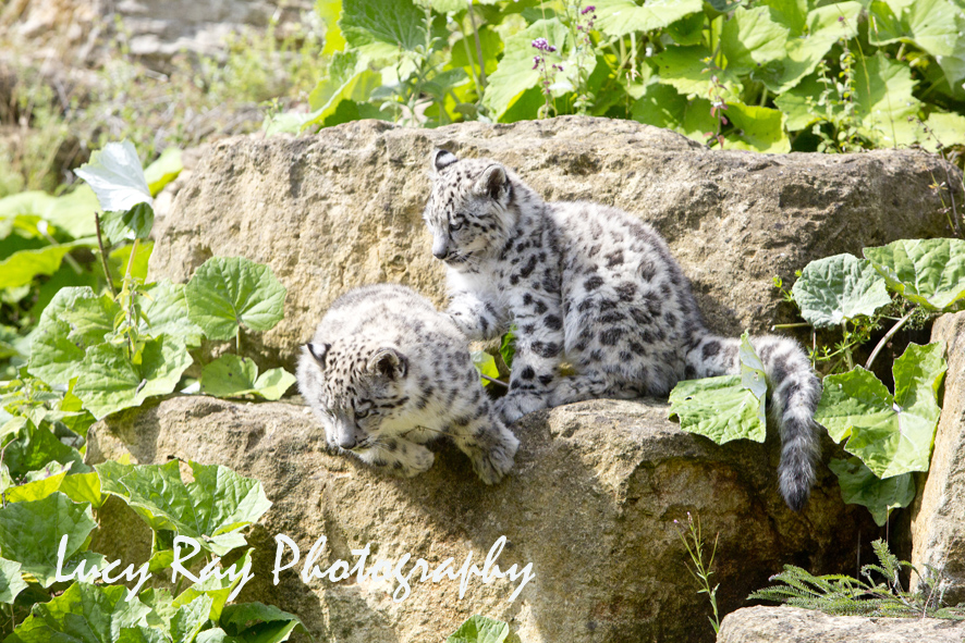 Snow Leopard Cubs63.JPG