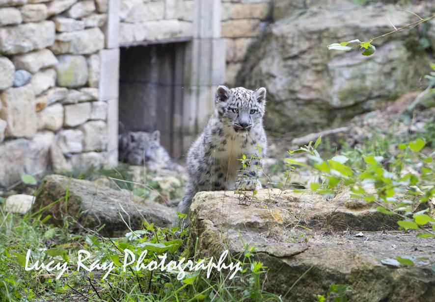Snow Leopard Cubs66.JPG