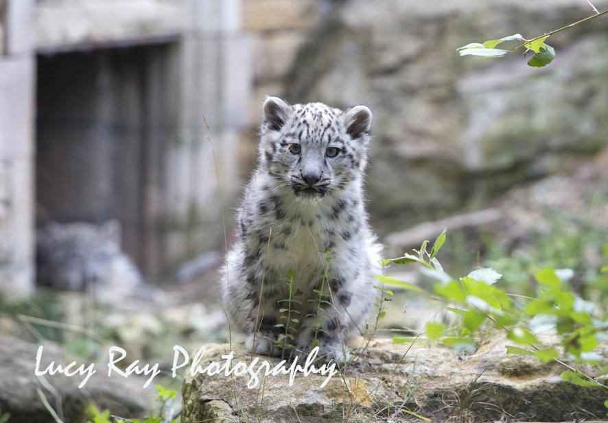 Snow Leopard Cubs68.JPG