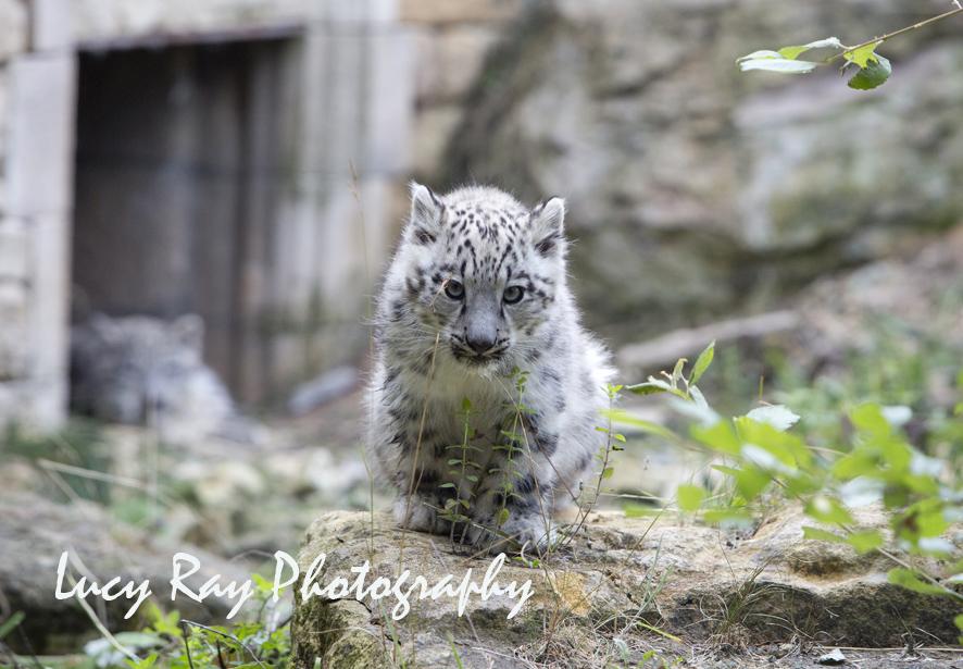Snow Leopard Cubs67.JPG
