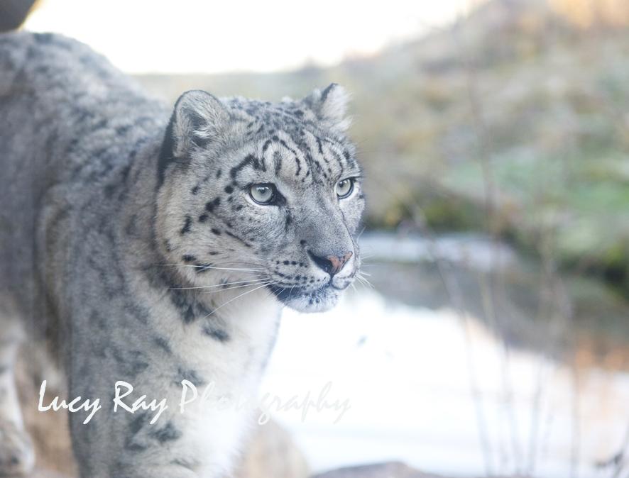 Snow Leopard12.jpg