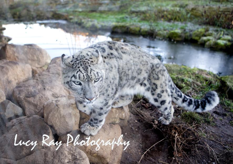 Snow Leopard7.jpg
