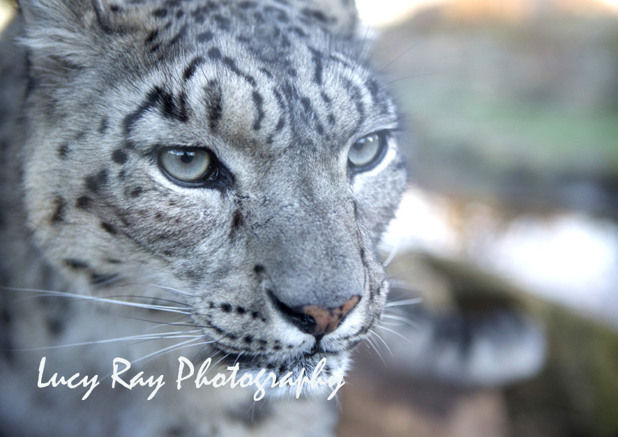 Snow Leopard15.jpg