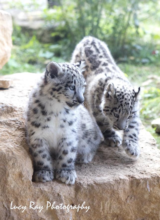 Snow Leopard Cubs4.JPG