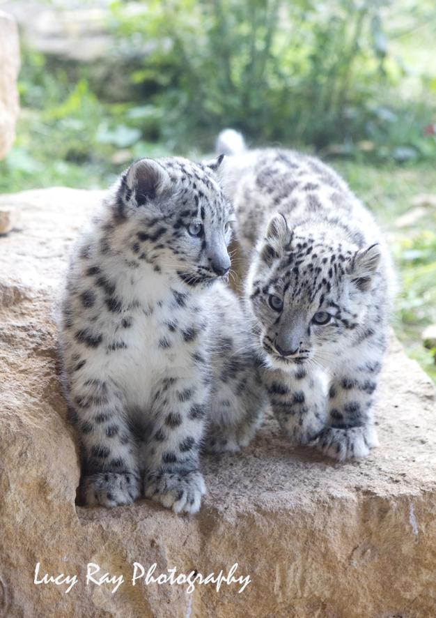 Snow Leopard Cubs5.JPG
