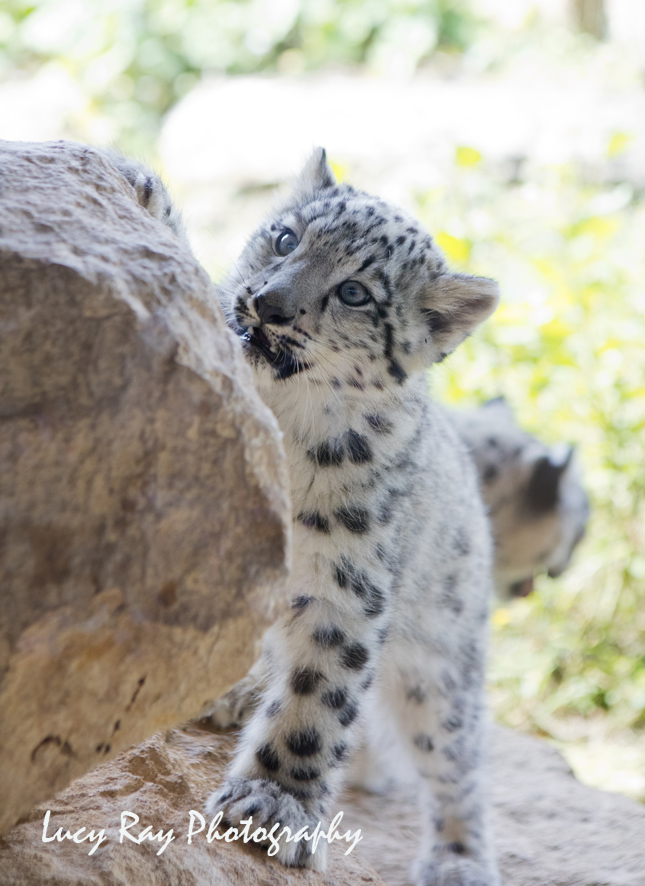 Snow Leopard Cubs23.JPG