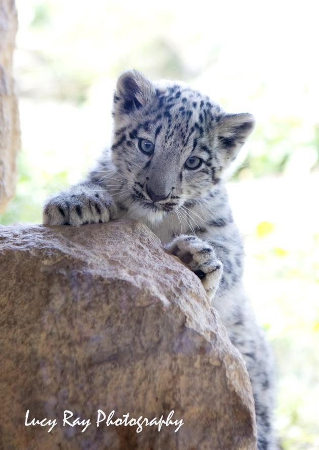 Snow Leopard Cubs26.JPG