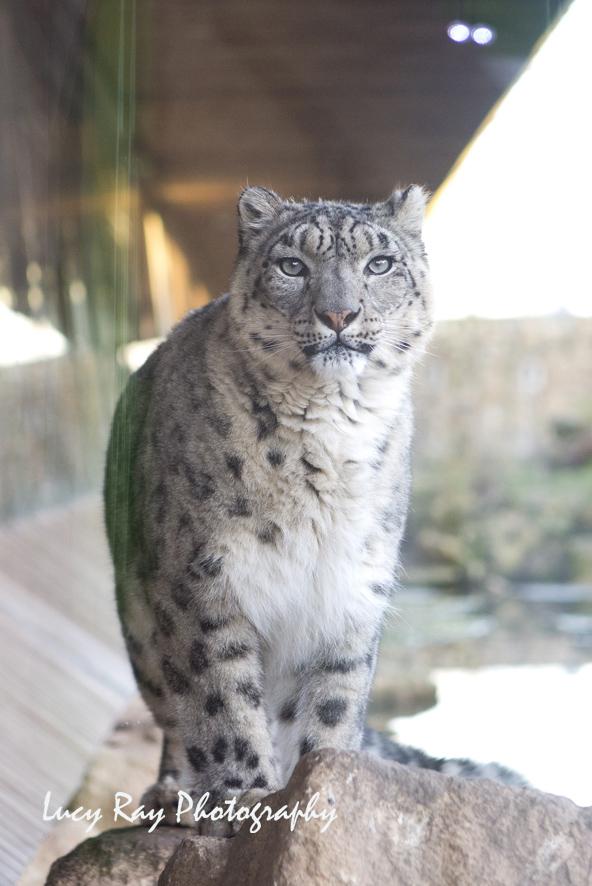 Snow Leopard10.jpg