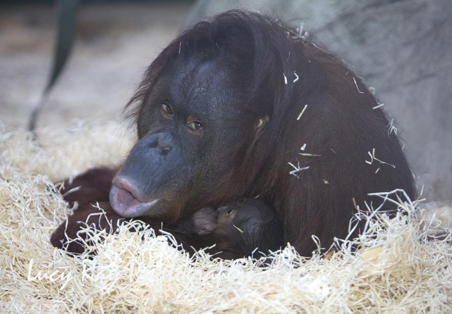 Orangutan Baby1.jpg