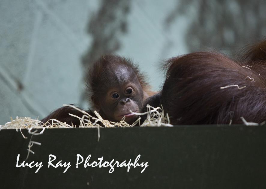 Orangutan Baby3.jpg