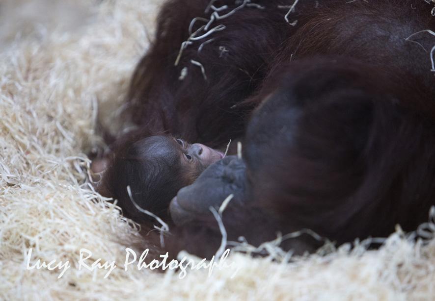Orangutan Baby5.jpg
