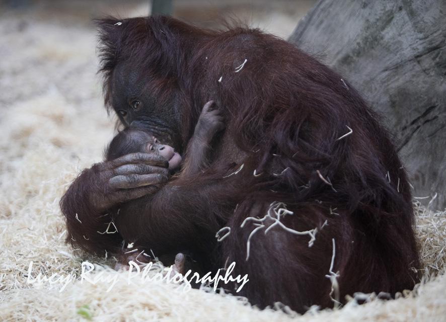 Orangutan Baby7.jpg
