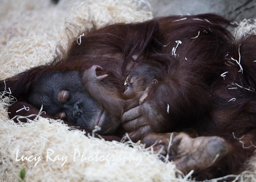 Orangutan Baby10.jpg