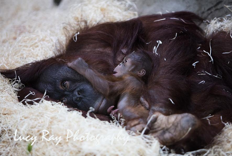 Orangutan Baby11.jpg