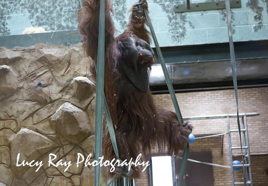 Orangutan Baby18.jpg