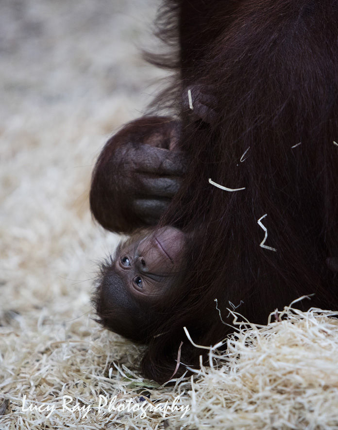 Orangutan Baby15.jpg