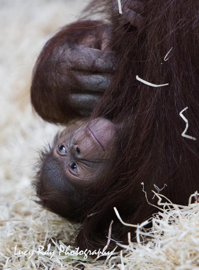 Orangutan Baby17.jpg