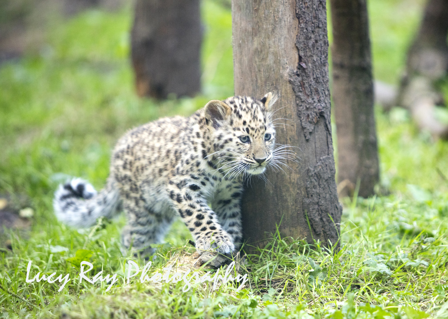 Amur leopard cubs2.jpg