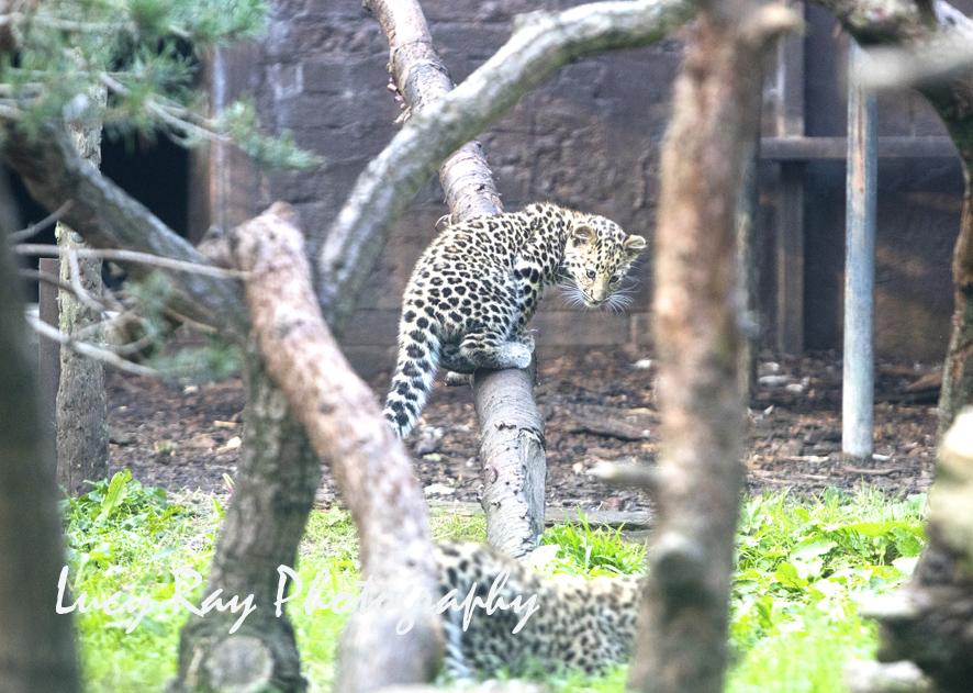 Amur leopard cubs3.jpg