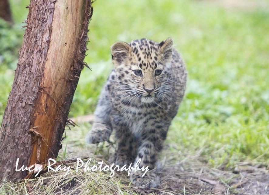 Amur leopard cubs1.jpg